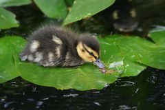 Baby Duck on Lily Pad. A baby duck rests on top of a lily pad in a pond at the Kew botanic gardens in Richmond, Surrey England stock image