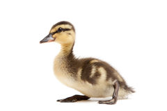 Baby duck Mallard isolated on white. Baby female Mallard duck isolated on white - Anas Platyrhynchos duckling closeup Stock Photos