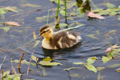 Baby duck in a pond Stock Photo