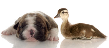 Baby duck and puppy stock photography
