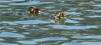 Baby Duck Quacking Swimming royalty-vrije stock fotografie