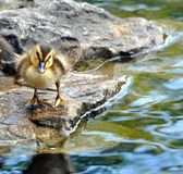 Baby duck on rock. Cute baby duck on a rock taking a look around royalty free stock images