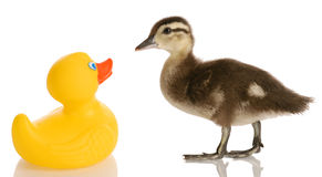 Baby duck and rubber duck Stock Images