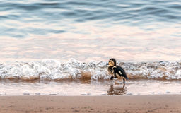 Free Baby Duck Running On A Beach Into The Waves Royalty Free Stock Photo - 59098065