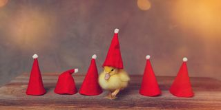 Baby duck with a santa hat royalty free stock photo