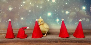 Baby duck with a santa hat stock photo