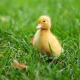 Baby duck in spring grass. One day old baby duck in spring grass stock images