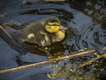 Baby duck swiming Stock Photography