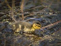 Baby duck swiming. In Marsh Stock Photos