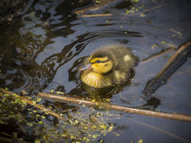 Baby duck Royalty Free Stock Images