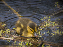 Baby duck swiming in water Royalty Free Stock Image
