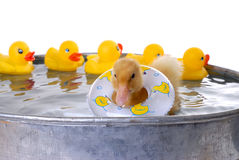 Baby Duck Swimming. With plastic ducks royalty free stock images