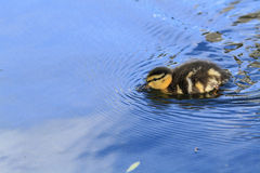 Baby Duck Swimming Stock Afbeeldingen