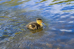 Baby Duck Swimming Royalty-vrije Stock Foto's