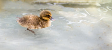 Baby Duck Swimming Stockfotografie