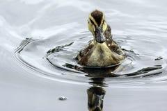 Baby Duck Swimming stock foto's