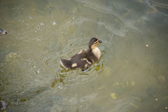 Baby duck Royalty Free Stock Image