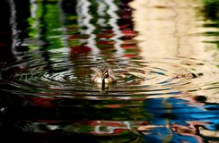 Baby duck swimming in water with ripples. Baby duck swimming alone in water with ripples stock photos