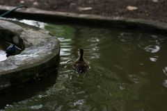 Baby Duck Swimming. Young beautiful duck Swimming in a pond Stock Photos