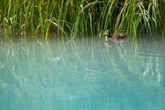 Baby duck swims along grass. In clean nature river Stock Image