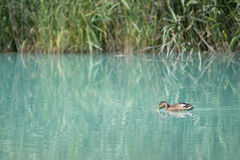 Baby duck swims from right to left before grass reeds Royalty Free Stock Image