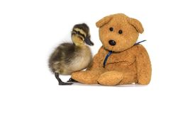 Baby duck and teddy bear friends. Mallard duckling. Cute friendship, Mallard duckling, Anas platyrhynchos, with a teddy bear on a white background. Fluffy 2 Stock Photography
