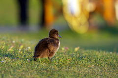 Baby duck walking in grass Royalty Free Stock Photos