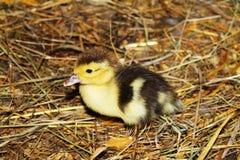 Baby Duck Stock Image