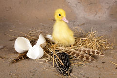 Baby duckling Royalty Free Stock Images