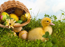 Baby duckling with easter eggs Stock Photography