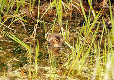 Baby Duckling in Marsh Royalty Free Stock Photo