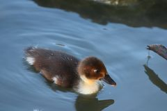 Baby duckling in a park stock photography
