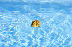 Baby Duckling in pool Stock Photos