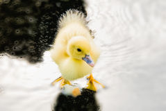 Baby Duckling Standing in a Water Puddle Stock Photos