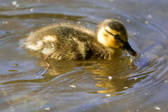 Baby duckling stock photo