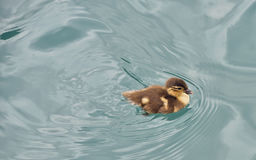Baby duckling swimming. In river Stock Images