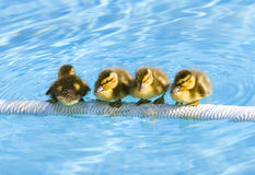 Baby Ducklings Royalty Free Stock Photography