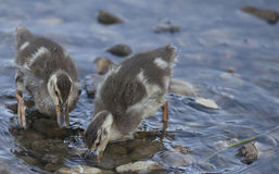 Baby Ducklings Feeding in a Small Pond Stock Photo