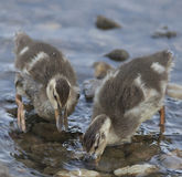 Baby Ducklings Feeding Royalty Free Stock Photography