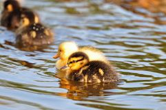 Baby ducklings. Newborn ducklings swimming as a group Royalty Free Stock Photo