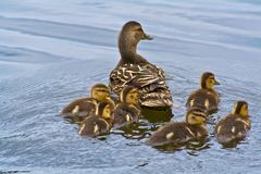 Baby ducklings swimming with mother duck. Duck Family Swimming Together on Water Royalty Free Stock Images