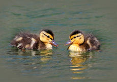 Baby Ducklings. Two baby mallard ducks swimming in a creek Stock Photos