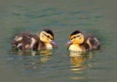 Baby Ducklings Stock Photos