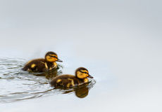 Baby Ducklings on the Water. Baby Mallard ducks swimming on the water Royalty Free Stock Photography