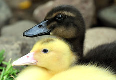 Baby ducks. Pic of two baby ducks posing for the pic stock photo