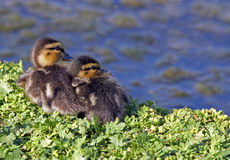 Baby Ducks. Young Ducks Sitting Near Water Stock Images