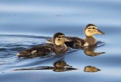 Baby Ducks Stock Photo