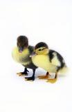 Baby ducks. Couple of ducklings in the studio stock images