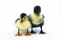 Baby ducks. Couple of ducklings in the studio stock image