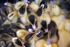 Baby Ducks royalty free stock images